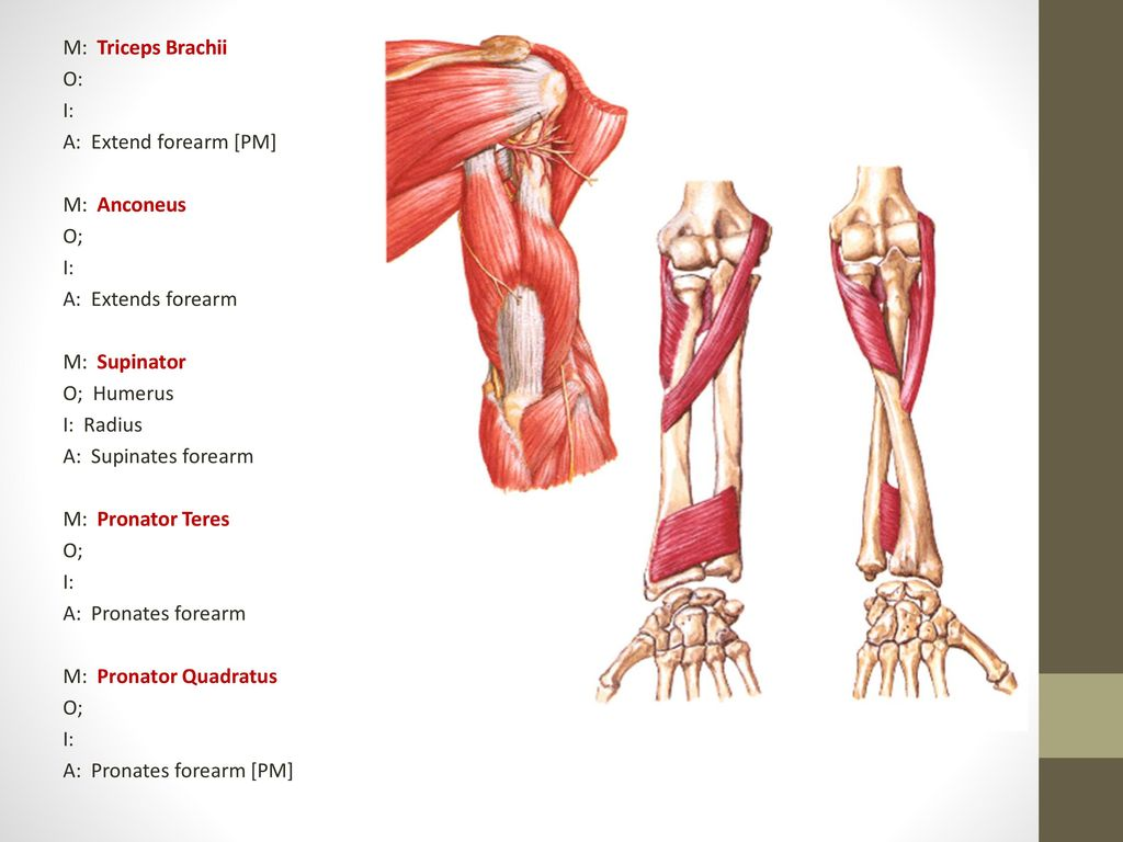 Next 4 Muscles [*SITS] are Rotator Cuff Muscles [still move upper ...